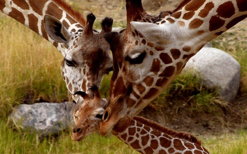 Giraffe, Parental Love. Источник: http://goo.gl/5QTqz